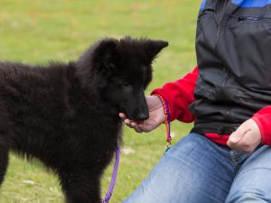 hsdw - jonge honden