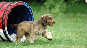 hsdw - puppy